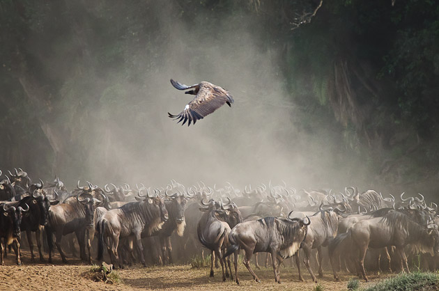 wildebeest and vulture