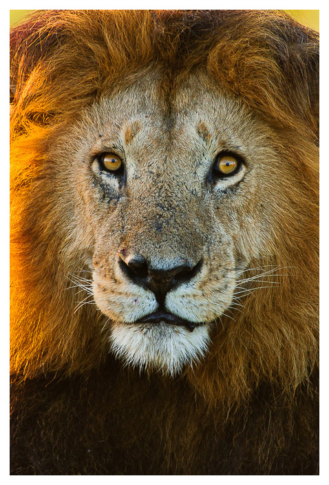 notch male lion portrait
